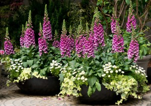 two planters full of pink foxgloves and daisies