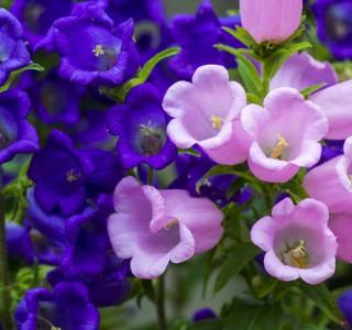purple and pink petunia plants close up shot