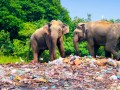 Elephants walking around plastic pollution